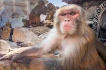 Monkey Story: প্ৰতিশোধ ল'বলৈ ২২ কিঃমিঃ যাত্ৰা কৰি আহিল এইটো বান্দৰ ! চতুৰতাৰে ট্ৰাকত উঠি গৈ পালে গন্তব্য স্থান...