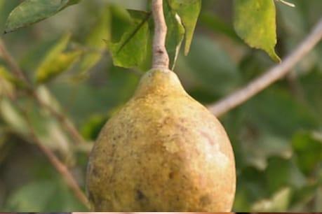 Magical Fruit : এনে এবিধ যাদুকৰী ফল যাক খাবও পাৰি আৰু যিহেৰে কাপোৰ ধুবও পাৰি