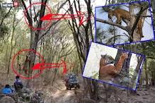 VIDEO: पैंथर पर जब बाघिन ने बोला हमला... पेड़ पर भी नहीं छोड़ा