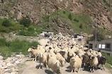 VIDEO : बीच में ही वतन लौट पड़े भेड़पालक