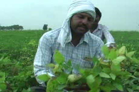 हरदा जिले में सोयाबीन की फसल में लगा रोग, किसान परेशान