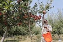 बागवानों सावधान! सेब में लग सकता है एप्पल एफिड की बीमारी