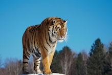 यहां लाठी-डंडों के सहारे हो रही है बाघों की सुरक्षा