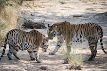 घर में सोते रहे वनकर्मी और होता रहा बाघों का शिकार