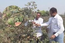 कपास पर गुलाबी इल्ली का प्रकोप, वैज्ञानिक बोले- फसल नष्ट करें किसान