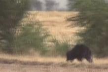 VIDEO: गांव में आया भालू, ग्रामीण चढ़े मकान की छतों पर