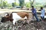 VIDEO: बारिश से किसानों ने ली राहत की सांस, ऊपरी इलाकों में मक्की बिजाई शुरू