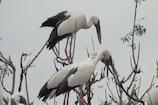 VIDEO: यहां इन विदेशी पक्षियों के शिकार पर लगा हुआ है प्रतिबंध