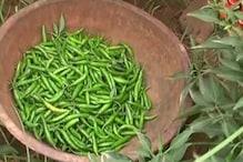 VIDEO: मिर्च की खेती से बदल रही है यहां किसानों की किस्मत