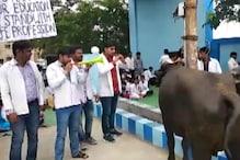 आयुष डॉक्टरों की हड़ताल पांचवें दिन भी जारी, भैंस के आगे बीन बजाकर किया प्रदर्शन