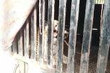 VIDEO: लोगों के लिए दहशत बना पैंथर हुआ पिंजरे में कैद, देखे वीडियो
