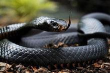 कन्नौज: एक ही घर से 14 कोबरा सांप निकलने से मचा हड़कंप