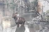VIDEO: जंगल से भटका काला हिरण कॉलोनी में घुसा