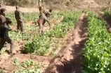 VIDEO: 13 एकड़ अफीम की खेती को वन विभाग ने किया नष्ट