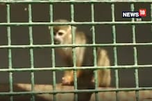 VIDEO: इंदौर जू में लाया गया दुनिया की सबसे छोटी प्रजाति के बंदरों का जोड़ा