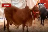 VIDEO: अब गाय सिर्फ पैदा करेगी बछिया, 50 करोड़ रुपये की योजना तैयार