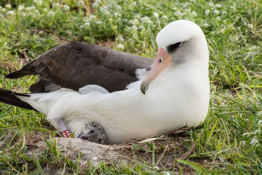 दुनिया में हर क्षेत्र में, हर जीवित और निर्जीव की खोज रही है. वैज्ञानिकों द्वारा पक्षियों की उम्र का ध्यान रखना भी इसी का हिस्सा है. हाल ही में दुनिया की सबसे पुरानी जंगली चिड़िया चर्चा में है. इसका नाम तो लयसन अल्बट्रॉस है, लेकिन विस्डम नाम दिया गया है.