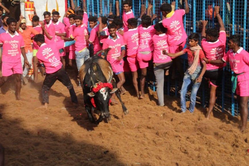 मदुरई जिले में आयोजित जल्लीकट्टू प्रतियोगिता के दौरान एक बैल को काबू करने की कोशिश करता एक प्रतिभागी. (छवि: स्टालिन/न्यूज 18)