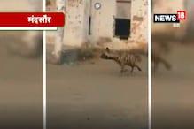 VIDEO: मंदसौर में 15 दिन से घूम रहे हैं दो लकड़बग्घे, दहशत का माहौल
