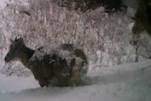 VIDEO: क्या आपने देखे हैं ये जानवर? उत्तरकाशी में दिखे दुर्लभ जीव