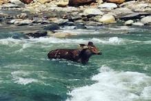 VIDEO: शाल्वी नदी में फंसा मिला दुर्लभ सांभर, ऐसे किया रेस्क्यू