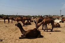 ऐसे खत्म हो रही है संस्कृति, राजस्थान के पशु मेलों पर लगा 'ग्रहण'