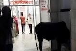 भीलवाड़ा में महात्मा गांधी चिकित्सालय के महिला वार्ड में घुसा सांड