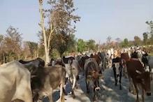 बंगाल ले जाए जा रहे 130 गोवंशीय पशु जंगल से बरामद, 10 पशु तस्कर गिरफ्तार