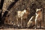 भोरमदेव अभ्यारण्य में वन्य प्राणियों की गणना