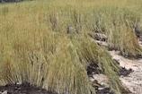 VIDEO : लगातार 3 दिन बारिश से गेहूं की फसल चौपट, फल और सब्जियां भी बर्बाद