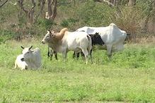 यहां किसानों के लिए मुसीबत बन गए हैं आवारा पशु... खेती करना हुआ दूभर