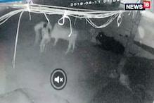 गौ तस्करों की पूरी तस्वीर CCTV कैमरे में कैद