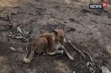 मालिक को बचाने के लिए बाघ से भिड़ गया कुत्ता, बचा ली जान
