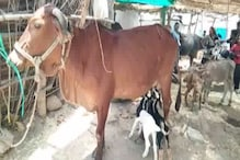 बकरी के बच्चों की 'मां' बनी गाय, हर रोज पिलाती है अपना दूध