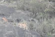 माउंट आबू की पहाड़ियों पर टहलते दिखे तेंदुए, VIDEO हुआ VIRAL