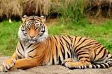 पन्ना टाइगर रिजर्व में बाघ ने किया गाय का शिकार :VIDEO वायरल