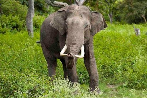 पैर में बंधी जंजीर तोड़कर ये हाथी फरार हो गया. फिलहाल वन विभाग हाथी की निगरानी कर रहा है.  (Demo pic)