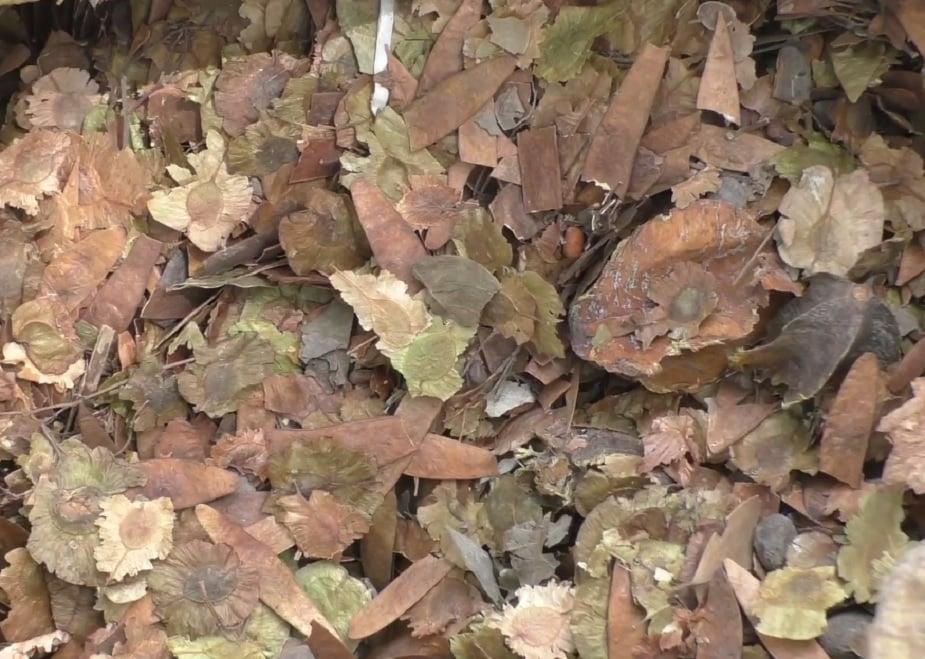 तराई-पश्चिमी वन प्रभाग के डीएफ़ओ हिमांशु बागरी बताते हैं कि बेशकीमती इमारती लकड़ी होने के बावजूद सागौन के साथ दिक्कत यह है कि ये उत्तराखंड की नेटिव प्रजाति नहीं है. इसके नीचे कुछ भी नही उग सकता.