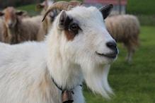 Eid ul-Adha: बकरीद पर क्यों दी जाती है जानवरों की कुर्बानी