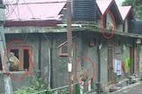 शिमला में बंदरों का आतंक जारी, नगर निगम ने खड़े किए हाथ