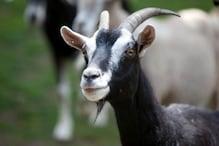बकरा के चक्कर में इनको जाना पड़ा जेल, जानें क्या है माजरा?