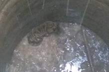 जंगल से आया बाघ कुएं में गिरा, रेस्क्यू में जुटा वन विभाग