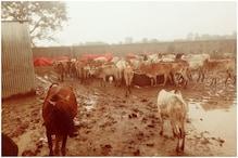 हरदा की सीताराम दयोदय गौशाला में 8 गायों की मौत से हड़कंप