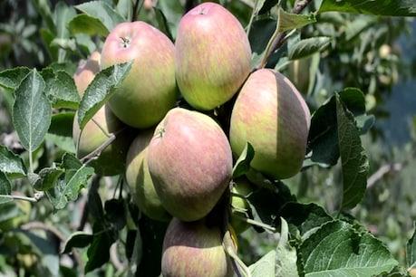 सेब की बंपर पैदावार के बाद भी बागवान निराश...ये है वजह