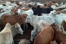 देश में 18 फीसदी बढ़ गई गायों की संख्या, अब हो गई 14.51 करोड़ गाय