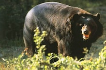 कोरबा में फसल देखने खेत गए किसान पर भालू ने किया हमला, इलाज जारी