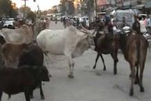 मध्य प्रदेश की सड़कों पर घूम रही हैं 10 लाख बेसहारा गाय, सरकार देगी सहारा