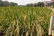हरियाणा-पंजाब में 'जल' और 'वायु' दोनों के लिए क्यों संकट बन रही धान की खेती?