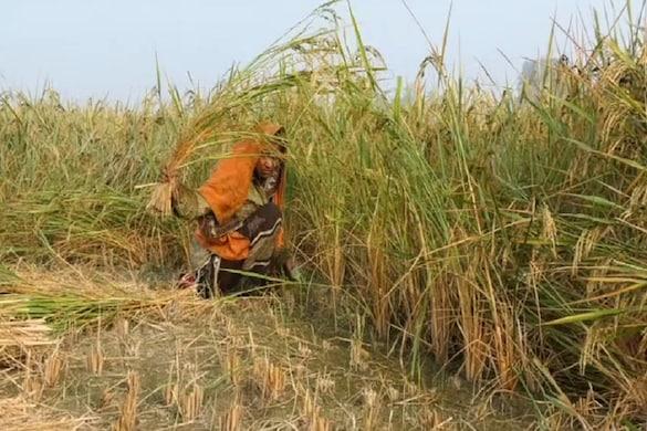 प्रयागराज के किसानों की धान की फसल मौसम की मार से बर्बाद हो गई है