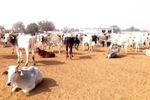 अलवर: गुंता शाहपुर गौशाला में 70 गायों की मौत, हड़कंप मचा, प्रशासन पहुंचा